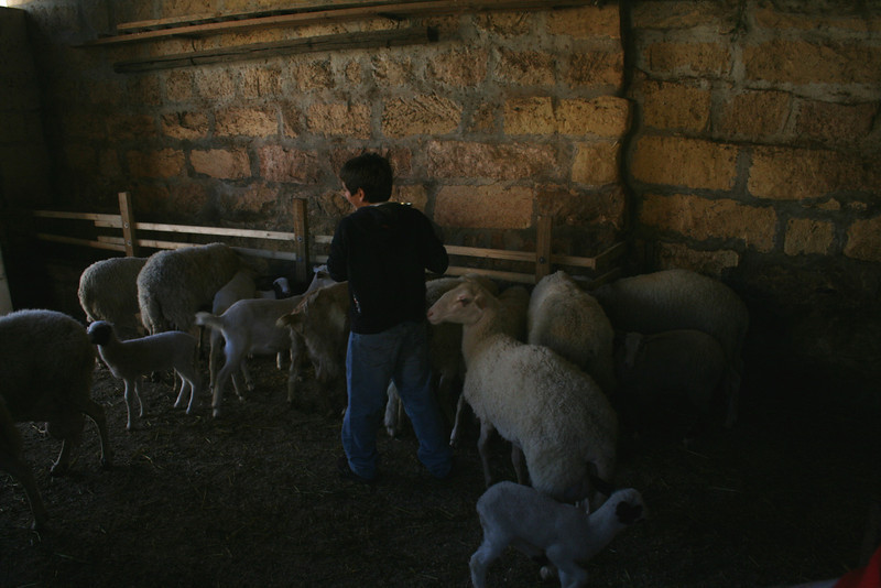 Andrew feeding the sheep