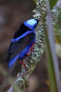 Red Legged Honey Creeper Back