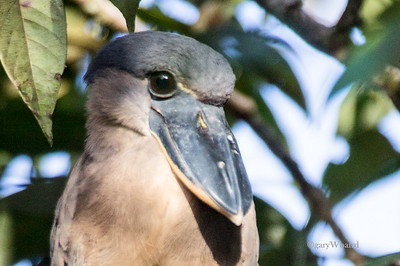 Boat-billed Portrait
