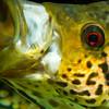 Jaguar Cichlid - Parachromis managuense (6)