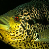 Jaguar Cichlid - Parachromis managuense