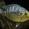 Jaguar Cichlid - Parachromis managuense (3)