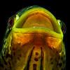 Jaguar Cichlid - Parachromis managuense (5)
