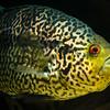 Jaguar Cichlid - Parachromis managuense (2)