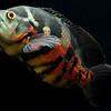 Oscar cichlid - Velvet cichlid - Astronotus ocellatus (2)