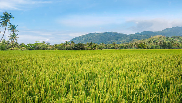 Rice paddy in the Philippines.