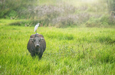 Symbiotic relationship between a water buffalo and a cattle egret. The egret eats flies, mosquitoes, ticks and fleas which bother the buffalo.