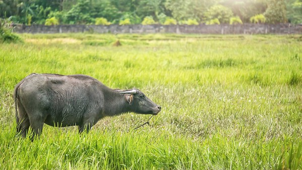 A female carabao, a species of water buffalo native to the Philippines.