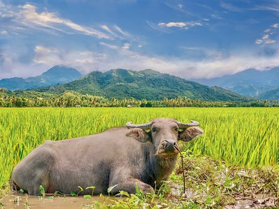 The carabao (Filipino: kalabaw) is a species of the domestic Asian water buffalo (Bubalus bubalis) native to the Philippines. It plows rice fields and enjoys cooling off in muddy waterholes. It's considered the country's national animal.