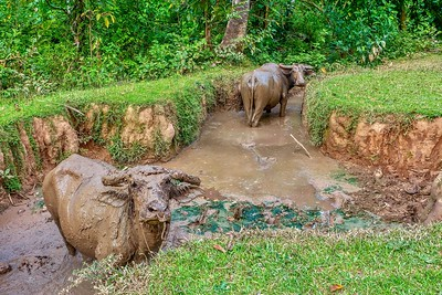 What a mud bath! These two carabao, a species of water buffalo native to the Philippines, are completely covered in mud.