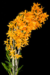 Dendrobium nobile Firebird (hybrid)
