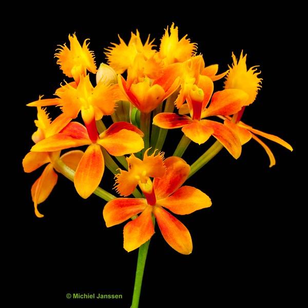 Epidendrum radicans - Kruisbeeld orchidee - Crucifix orchid