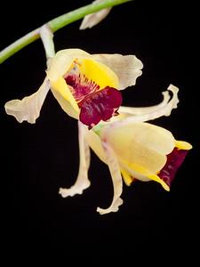 Gomesa echinata (syn: Baptistonia echinata) - Hedgehog orchid