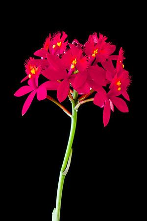 Epidendrum 'Big Red'