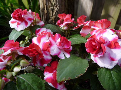 impatiens cherry fiesta splash