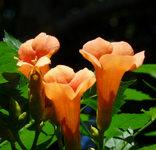 "trumpet vine ""Indian Summer"""