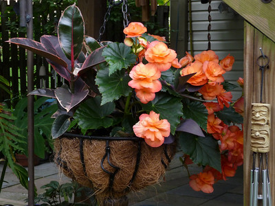 Ficus Belize and Solenia Orange tuberous begonia
