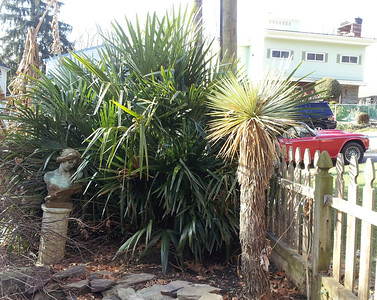needle palm moved from a DC curb strip to save it from utility work demolition a few years back, get the brunt of the full NW winds, no protection or micro climate