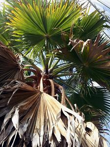 Washingtonia robusta crown