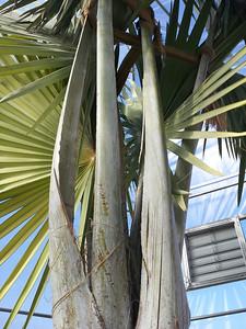 Bismarkia nobilis inside protective silo