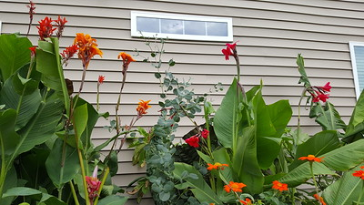 L-R Canna Tiki Torch, canna Riverside, Eucalyptus neglecta, canna Ehemanii and orange mexican torch flower front right