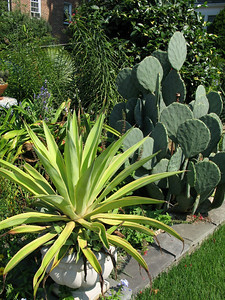 agave and hardy cactus