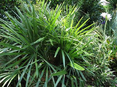 hardy needle palm