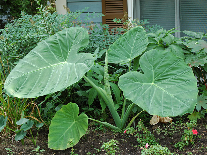 Colocasia gigantea Thailand Giant- Tom Walters , Bowie , MD