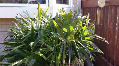 needle palm and camellia