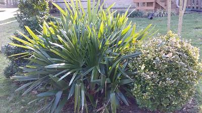 needle palm