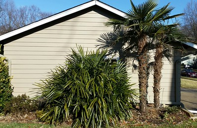 trachys and needle palm
