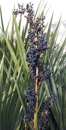beautiful ripe seeds Sabal minor 'Cape Hatteras Blue'