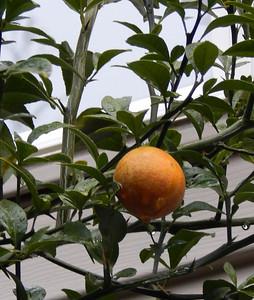 Last fruit Dec 6, 2013
