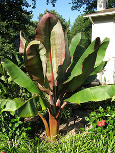 red abyssinian banana