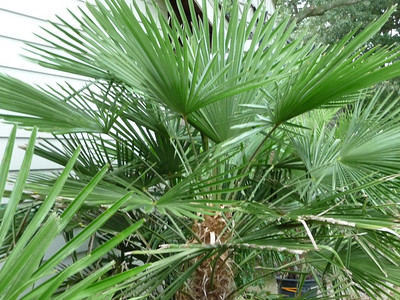 hardy trachy palm