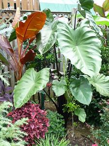 Colocasia fontanessii 'Black Stem taro'