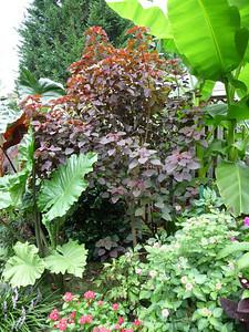 3 yr old Euphorbia cotinifolia 'Atropurpurea' / Caribbean Copper Plant