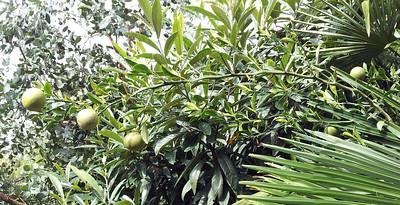 hardy sweet citrandarin and loquat and eucalyptus