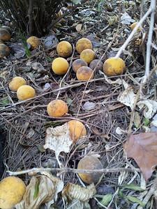 Ponciirus trifoliata ground crop
