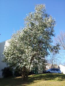 huge 28' Eucalyptus neglecta in Sterling VA