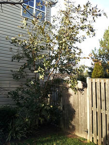 neighbor's Eucalyptus neglecta