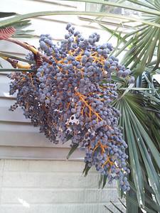 Trachycarpus seeds stalks