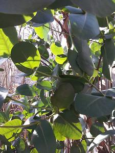 Eucalyptus neglecta leaves