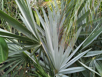 underside of needle palm frond