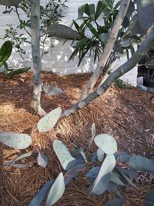 E. pauciflora subsp. debeuzevillei, syn. E. debeuzevillei