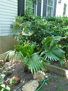 chinese fan palm overwintered in ground!