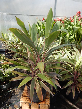 CORDYLINE 'PINK DIAMONDS' #3