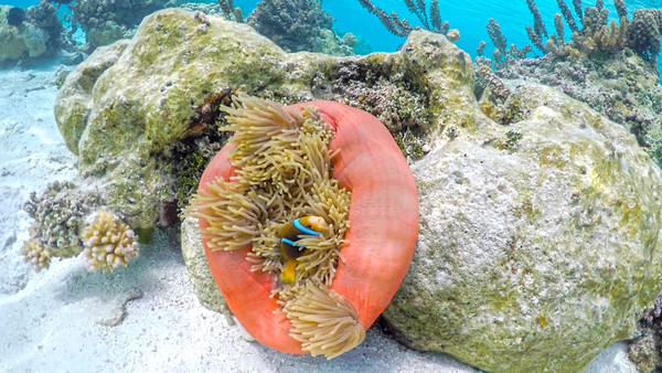 Found Nemo in the Coral Gardens of Taha'a