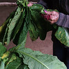 Stringing up Tobacco Leaves
