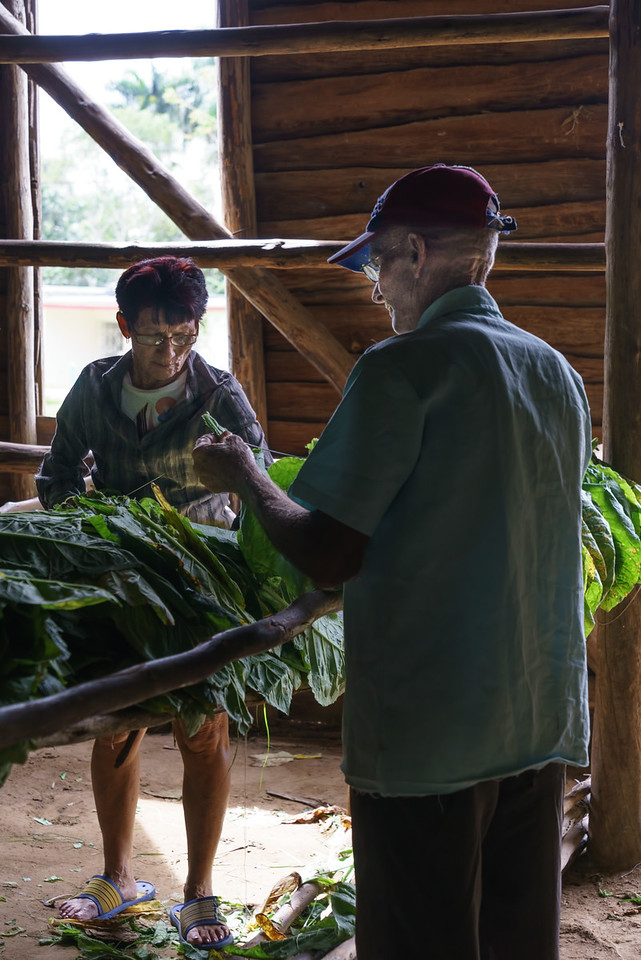 Tobacco Leaves being hung
